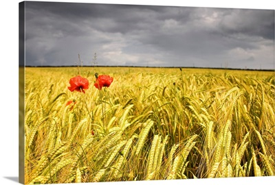 Two Red Poppies In Wheat Field
