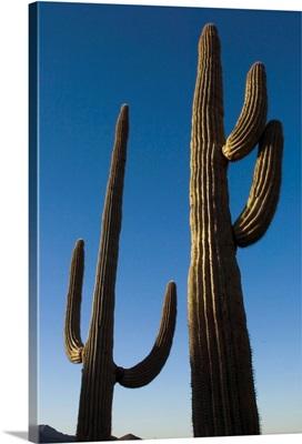 Two Saguaro Cacti In The Sonoran Desert