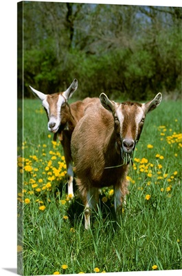 Two Toggenburg domestic dairy goat does graze on a green pasture with dandelions