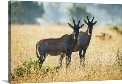 Two Topi Stand Together In African Savannah, Serengeti National Park, Tanzania