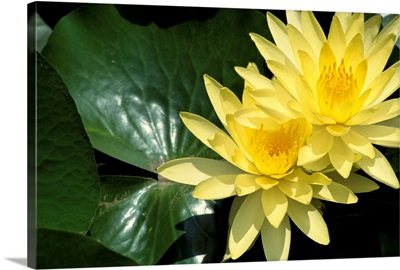 Two Yellow Water Lilies, Close-Up, Lily Pad