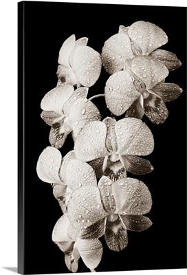Vanda orchids with water drops on petals, Dark background