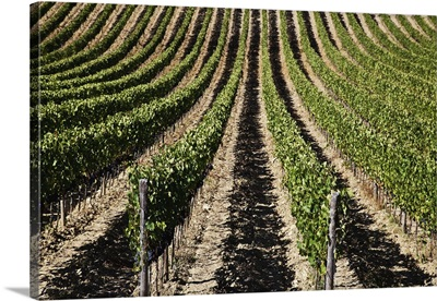 View down the row of vines in a vineyard, Chianti, Tuscany, Italy
