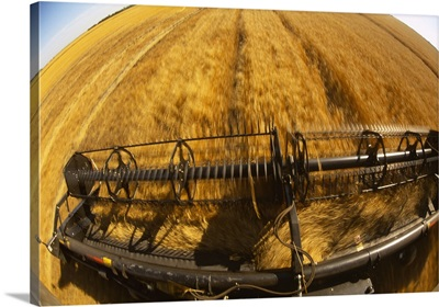 View from the cab over the blurred header of a combine as it harvests mature wheat
