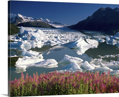 View of Colony glacier with fireweed. Southcentral, Alaska