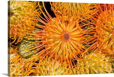 View Red Pin Cushion Protea Blossoms Or Leucospermum