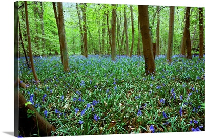 Violets In Forest