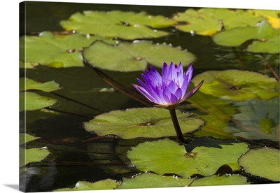 Water lily in the Bethesda Fountain in Central Park, New York City, New York
