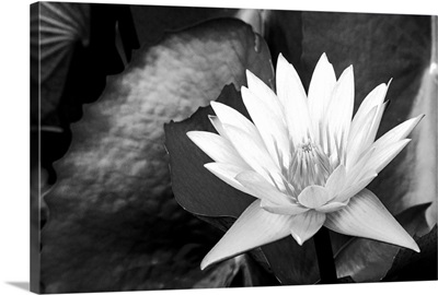 Water lily surrounded by leaves