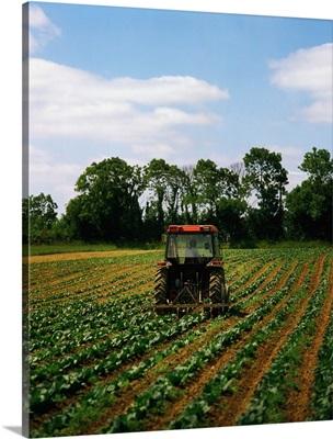 Weeding A Cabbage Field, Ireland