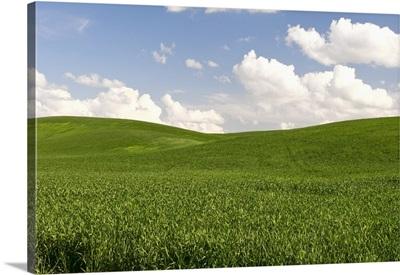 Wheat Crop In Palouse Area, Washington