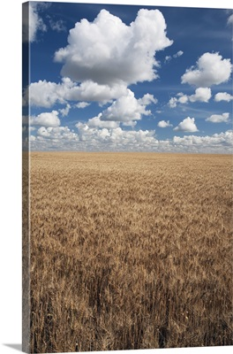 Wheat Field And Clouds In The Sky