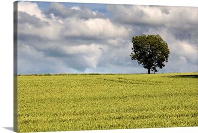 Wheat Field, North Yorkshire, England
