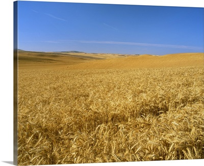 Wheat field, soft winter wheat, ripe and ready for harvest
