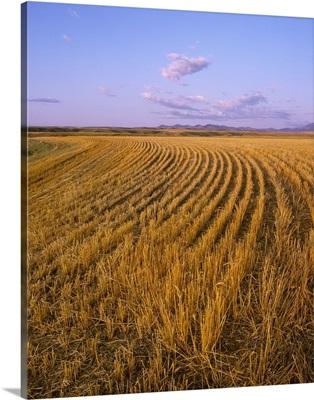 Wheat field stubble, Central Montana