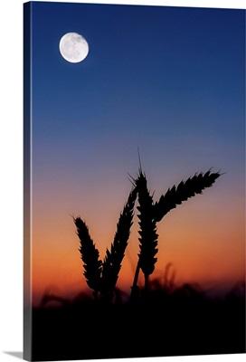 Wheat under a Harvest Moon