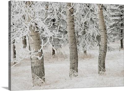 White Aspens In Winter, Calgary, Alberta, Canada