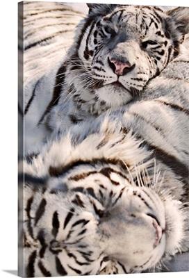 White Bengal Tigers, Forestry Farm, Saskatoon, Saskatchewan, Canada