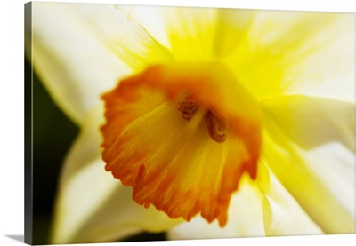 White Daffodil, Selective Focus On Flower Center