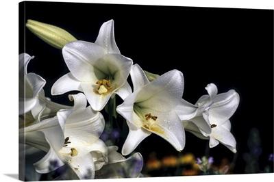 White Easter Lilies 'Snow Queen' Longiflorrum Liliaceae, New York Botanical Garden