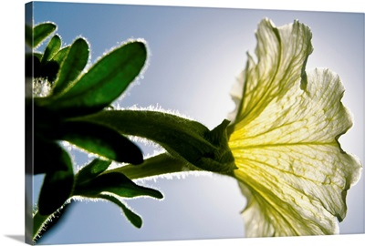 White Petunia, Sunlight Shining Through Blossom