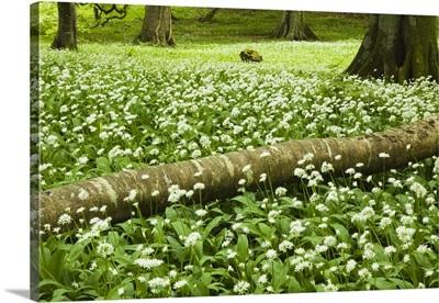 White Wildflowers Growing Amongst The Trees; Killarney, County Kerry, Ireland