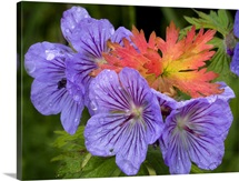 Wild Geranium blooms with premature fall leaf coloring in Glen Alps