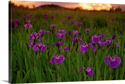 Wild Iris Blooms on Palmer Hayflats at Sunset SC AK Summer Mat-Su Valley