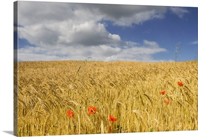 Wild Poppies In Wheat Field, North Yorkshire, England