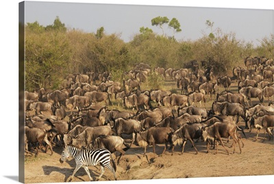 Wildebeest And Zebra, Kenya, Africa