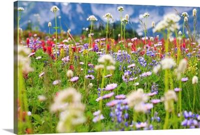 Wildflowers In A Meadow In Mt. Rainier National Park, Washington