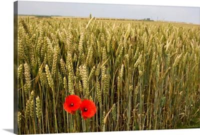 Wildflowers, Poppies Beside Grain Field