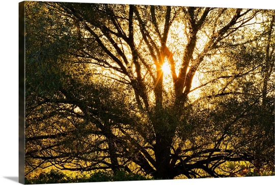 Willow Tree At Sunset, Monteregie Region, Quebec, Canada Wall Art ...