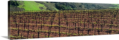 Wine grape vineyard in early spring with new foliage making its appearance