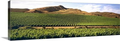 Wine grape vineyard on rolling hills in late afternoon light