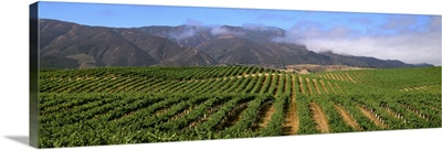 Wine grape vineyard on rolling hills showing full