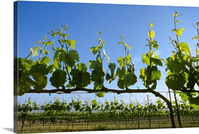 Wine grape vineyard with early Spring foliage growth
