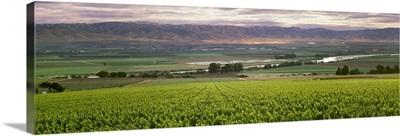 Wine grape vineyard with Spring foliage growth