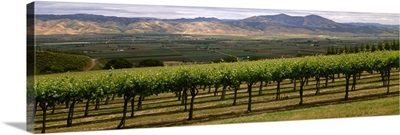 Wine grape vineyard with Spring foliage growth in the Santa Lucia highlands
