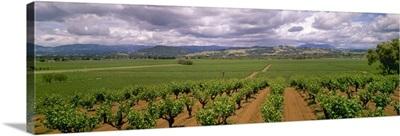 Wine grape vineyards showing Spring foliage growth, Sonoma County, California
