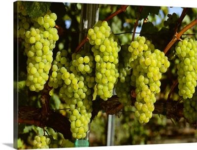 Wine Grapes, Chardonnay clusters, Sonoma County, California