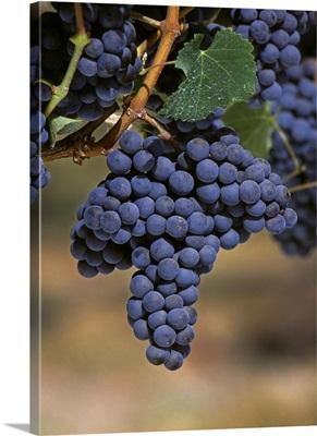Wine Grapes, Merlot cluster, California