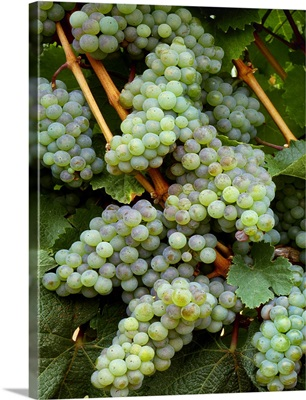 Wine grapes, Riesling