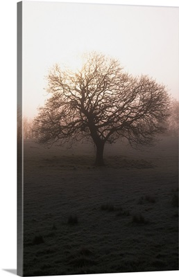 Winter Tree On A Frosty Morning, County Donegal, Ireland
