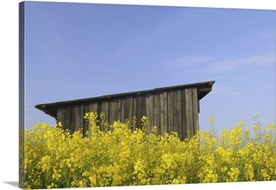 Wooden Hut In Canola Field, Roellbach, Bavaria, Germany