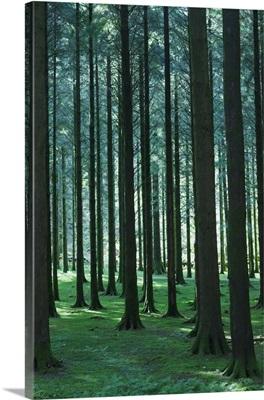 Woodland Scene In Gougane Barra Forest Park; County Cork, Republic of Ireland