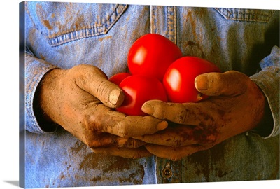 Worker holding ripe tomatoes