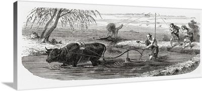 Worker Using A Water Buffalo. From El Mundo En La Mano Published 1875