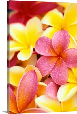 Yellow And Pink Plumeria Flowers, Water Drops On Petals