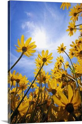 Yellow Flowers (Asteraceae)